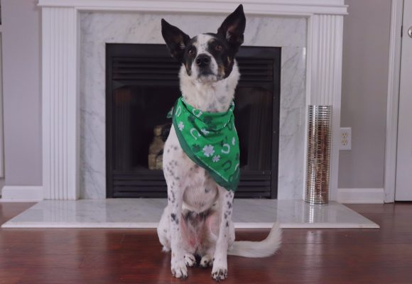 Celebrate St. Patrick's Day with These Fun Accessories for Your Pet